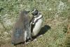 Magallan Pinguine