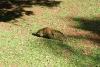 Nasenbär Brasilien