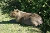 Carpinchos, die Riesen-Meerschweinchen Lagune Ibera