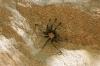 Spinne im Zion NP